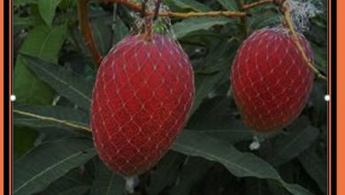 mango tayoon tmango japan