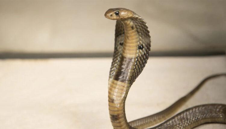 black cobra snake india